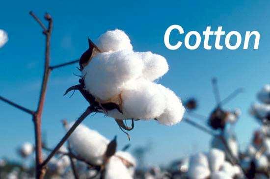 sợi bông là sợi cotton